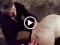 Đụ lỗ đít heo nái – clip sex thú 3x mới nhất
